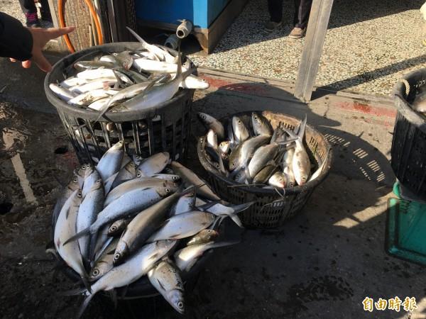 超級寒流今天清晨發威,雲林沿海低溫5、6度台西、口湖文蛤池混養的虱目魚凍死。(記者黃淑莉攝)