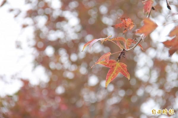 天氣變冷楓香葉子跟著轉紅,騎乘自行車欣賞楓紅超浪漫。(記者陳冠備攝)