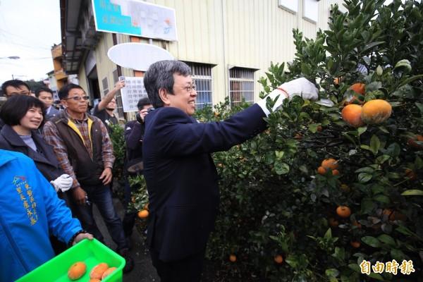 副總統陳建仁到東勢區明正里體驗剪採茂谷柑。(記者歐素美攝)