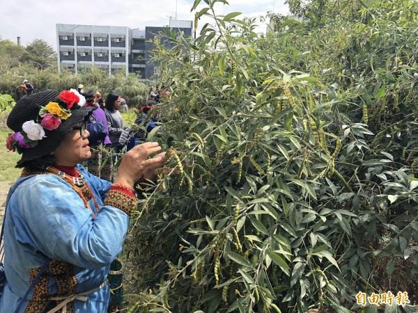 族人採收樹豆。(記者羅欣貞攝)