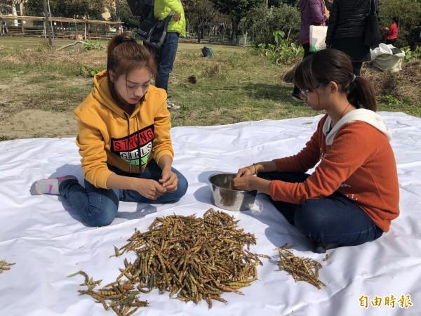 學生幫忙剝樹豆。(記者羅欣貞攝)