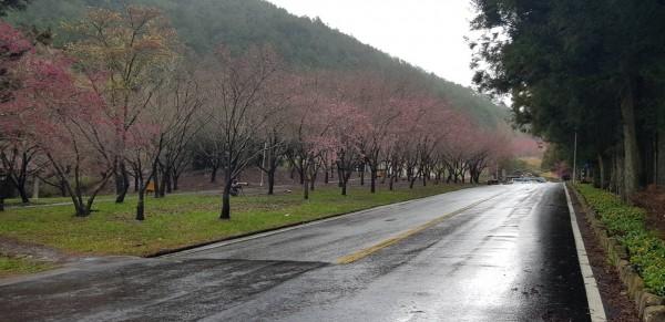 武陵櫻花季將登場,現場將進行交通疏導措施。。(和平分局提供)