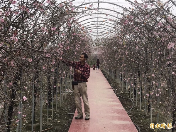 芬園鄉花卉休憩園區園主張洲府漫步在「洲府枝垂櫻櫻花隧道」,別有一番風味。(記者湯世名攝)