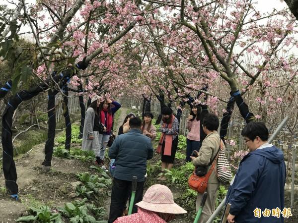 芬園鄉花卉休憩園區的河津櫻盛開,吸引大批遊客拍照留念。(記者湯世名攝)