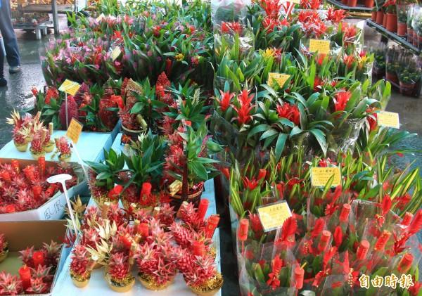 鳳梨花品種豐富,顏色鮮豔討喜,是每年最受歡迎的迎春花卉之一。(記者陳冠備攝)