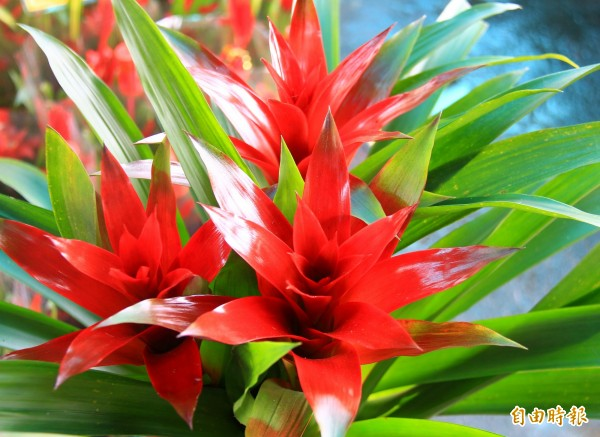 鳳梨花進入開花期時葉子開始轉紅,花期可達3至6個月。(記者陳冠備攝)