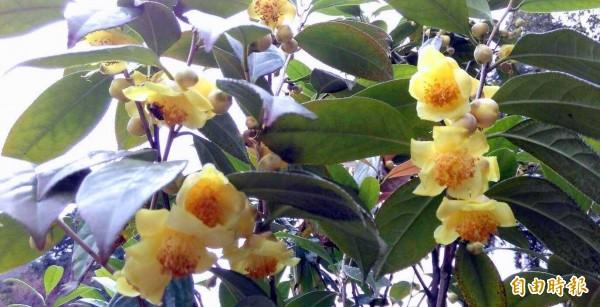 台大實驗林管處舉辦鳳麓茶馨茶花展,市面上少見的黃色茶花,也凸顯其培育及改良成果。(記者謝介裕攝)