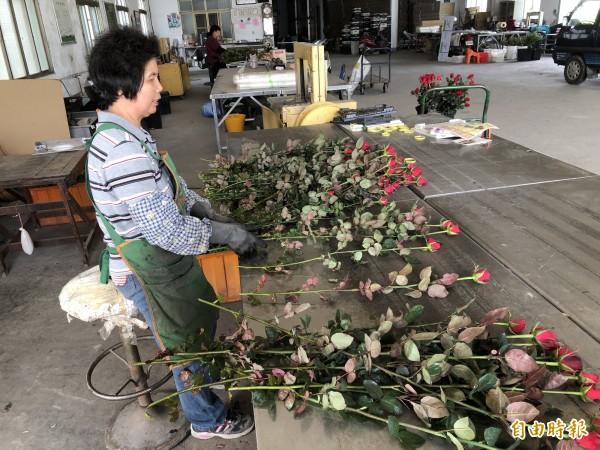 明天就是情人節,埔里玫瑰花產地因天候因素導致產量銳減,農民也滿腹無奈。(記者佟振國攝)