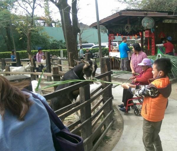 民眾於華ㄧ牧場拿牧草餵小羊。 (記者陳文嬋翻攝)