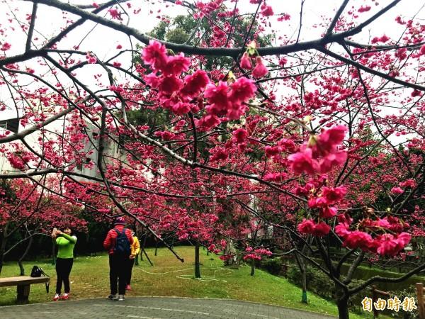 賞櫻不必出遠門!中壢區莒光公園的櫻花開好開滿,美不勝收。(記者李容萍攝)