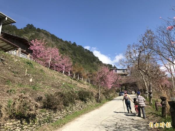 司馬庫斯部落正值櫻花季,但遊客得站在像蜘蛛網般的爛路上賞花。(記者廖雪茹攝)