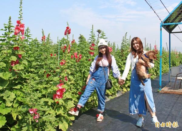 彰化田中窯蜀葵花海正盛開,吸引不少遊客前往拍照。(記者陳冠備攝)