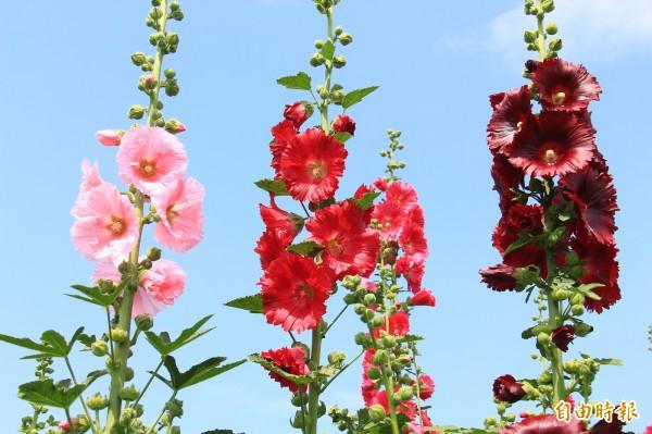 熬過3波寒流,蜀葵花在天氣放晴後終於開花。(記者陳冠備攝)