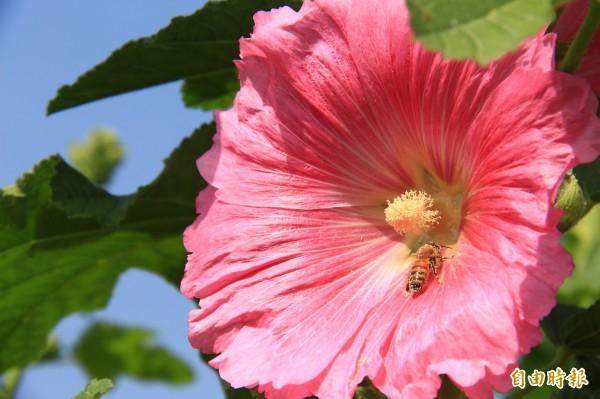 田中窯蜀葵花盛開,蜜蜂全身沾滿花粉,開心採花蜜。(記者陳冠備攝)