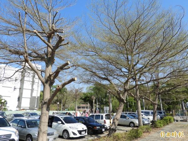 交通局已暫停金獅湖停車場的樹木修剪,照片右方為倖免於難的樹木。(記者葛祐豪攝)