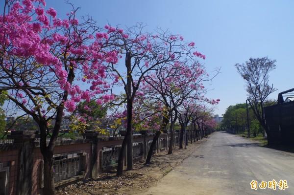 嘉義特殊教育學校的紅花風鈴木正值花季。(記者王善嬿攝)
