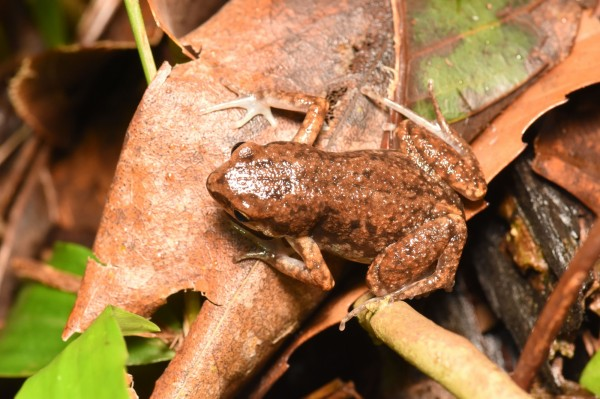史丹吉氏小雨蛙為台灣特有種,在台灣紅皮書評估中屬於易危等級。 (記者陳文嬋翻攝)