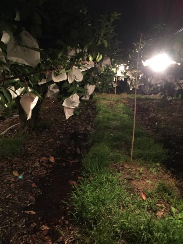 蓮霧果園也開燈,提升溫度抗。(記者陳彥廷翻攝)