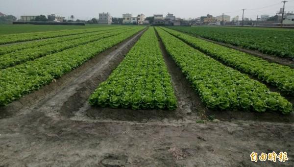 因菜價低迷不敷採收成本,整片菜園都得耕鋤。(記者廖淑玲攝)