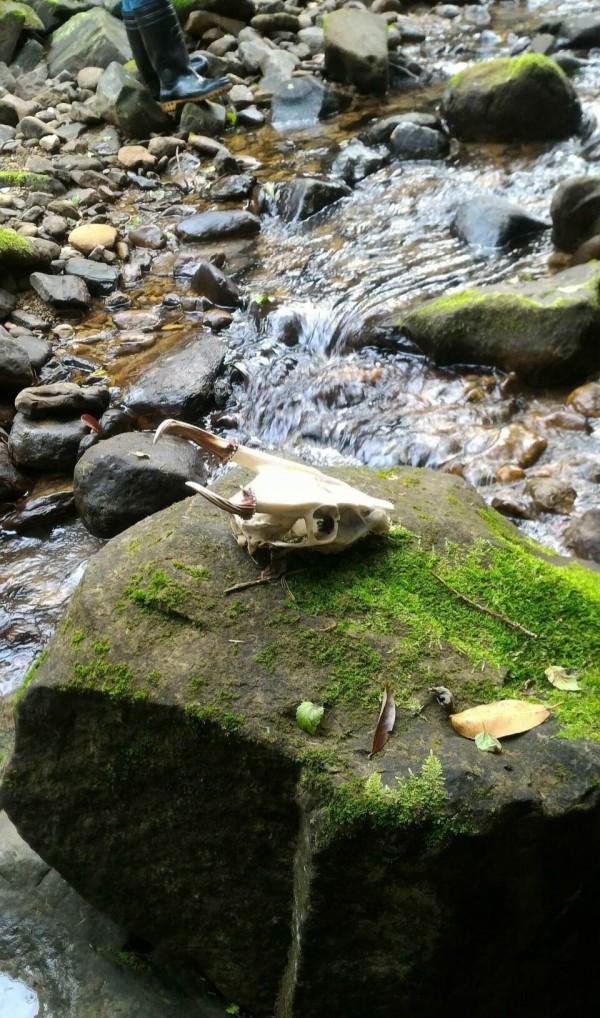 雙溪牡丹溪一帶驚見山羌白骨。(新北市動保處提供)