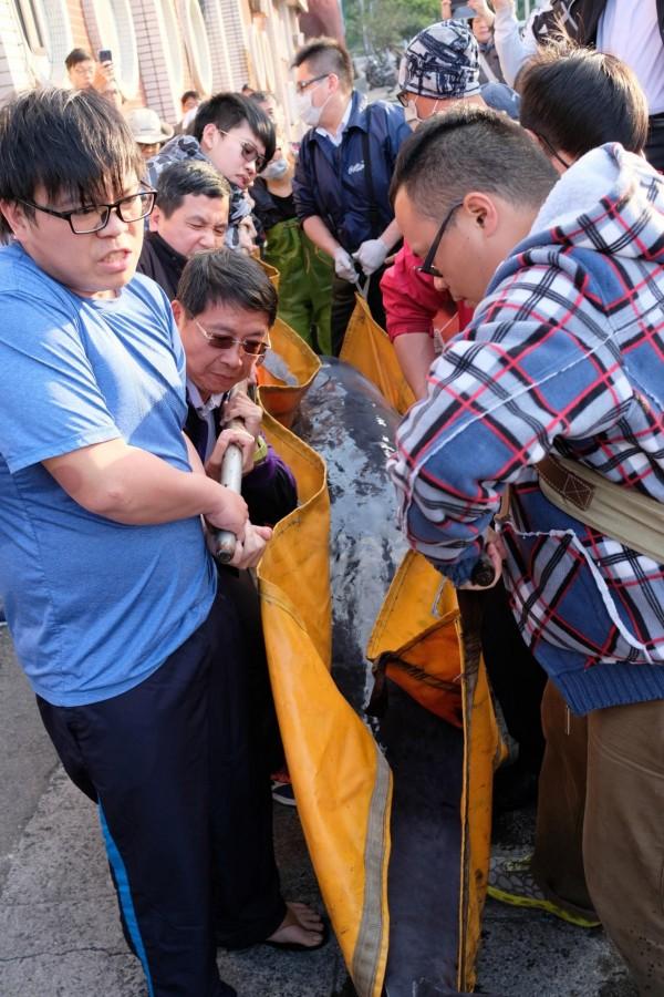 擱淺兩天的小抹香鯨,在眾人合力下從貨車運到船上。(記者林欣漢攝)