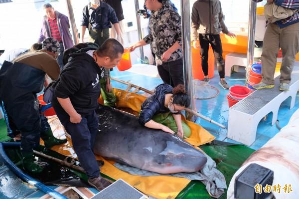 小抹香鯨經檢查後相當健康,專家決定盡快野放讓牠重回大海。(記者林欣漢攝)