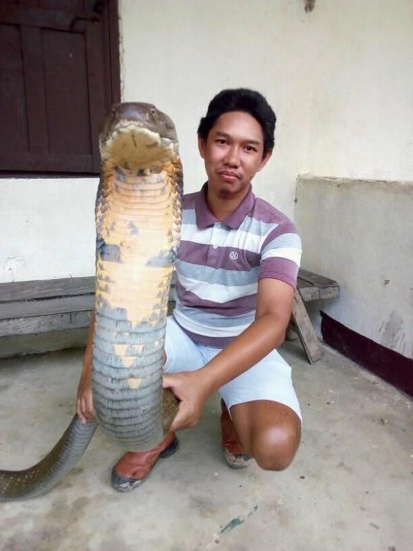 日前印尼一名網友捕獲一條巨大的眼鏡王蛇,體型驚人,光是蛇頭就幾乎跟人臉一樣大,引發網友瘋狂討論。(圖片截取自Made Dwi Sudarmawan臉書)