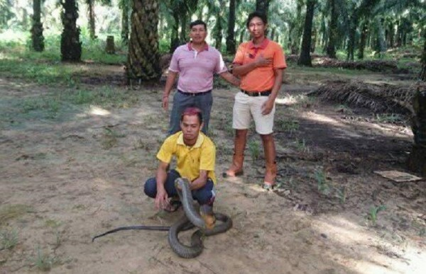上週五這條巨蛇被野放回森林中,遠離人類居住的村莊。(圖片截取自Made Dwi Sudarmawan臉書)