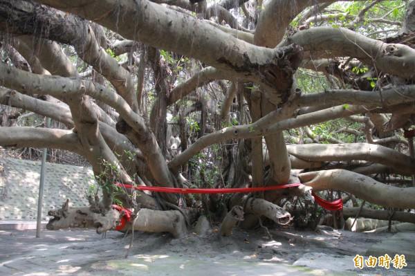 竹塘九龍大榕公相傳,樹體被火燒破壞後,自根部衍生9條枝幹,不斷增生後為一片樹林。(記者陳冠備攝)
