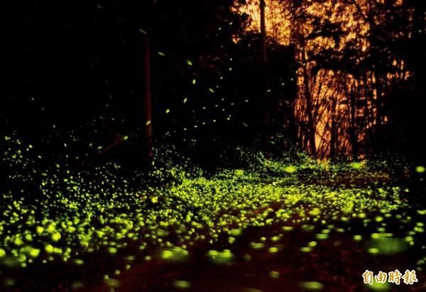 關山里的火金姑數以萬計現蹤,形成美麗的「螢河」。(記者吳俊鋒攝)