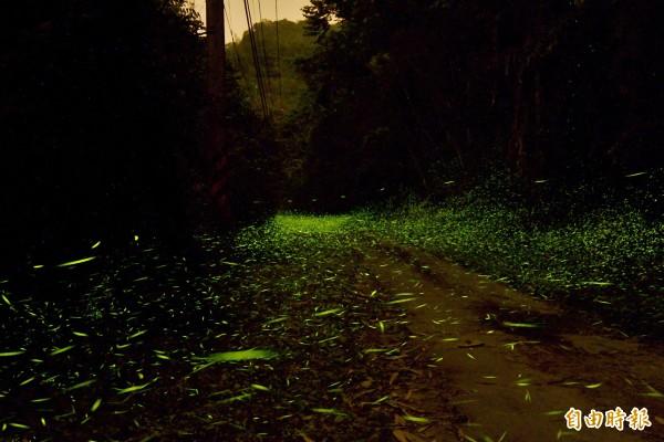 南化區關山里的螢火蟲已屆大發生期,夜光精靈成群飛舞,相當迷人。(記者吳俊鋒攝)