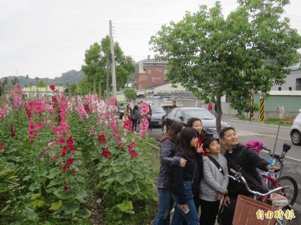 集集鎮和平社區蜀葵花田,清明連假吸引不少遊客拍照賞花。(記者劉濱銓攝)