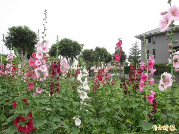 集集鎮和平社區蜀葵花田,花莖高聳、花色豔麗,景象相當美麗。(記者劉濱銓攝)