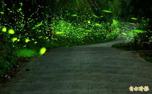 在伍龍步道的出水仔地段,沿途可見螢火蟲群舞。(記者吳俊鋒攝)