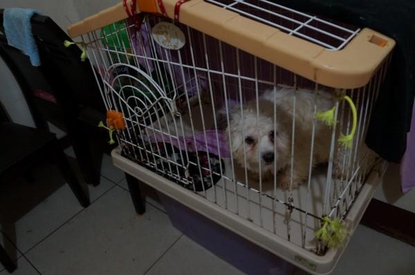 基隆市動物保護防疫所查獲陳姓婦人在租屋處繁殖瑪爾濟斯,其中一隻被當母豬4年生8次。(基隆市動物保護防疫所提供)