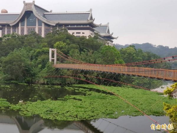 夏天到了,新竹縣峨眉湖的布袋蓮狂長,細茅埔吊橋下方的水面快被布袋蓮佔滿了。(記者蔡孟尚攝)