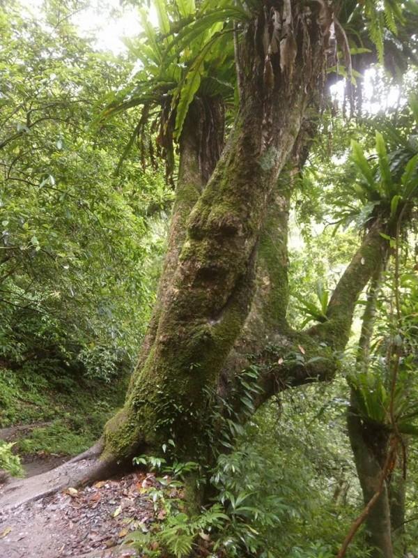 網友臉書PO照,指礁溪聖母山莊登山步道,出現樹妖人臉,引起熱烈討論。(圖擷取自宜蘭知識+)