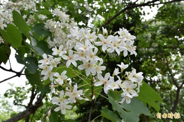 雲林古坑荷苞山油桐花盛開。(記者黃淑莉攝)