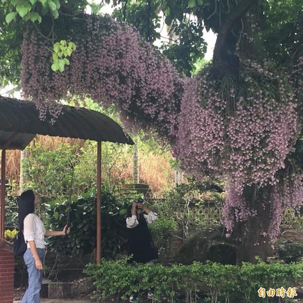 石斛蘭花瀑,吸引許多人前往賞花拍照。(記者蔡宗勳攝)