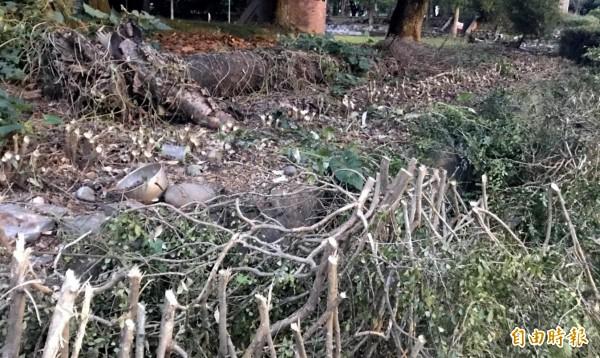 南投縣竹山公園內七里香地面以上枝幹全被砍除,只留下根部。(記者謝介裕攝)