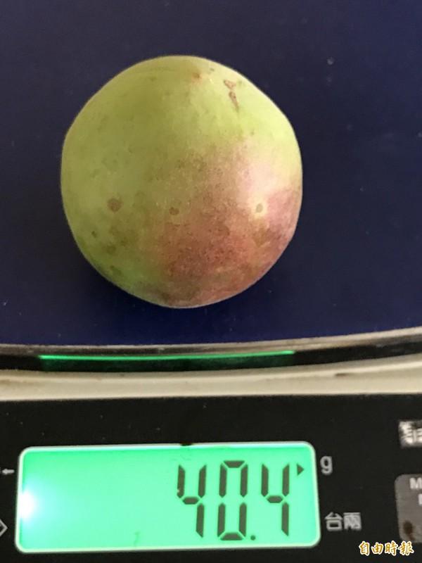 信義鄉梅區出現「大粒果實」的巨無霸青梅,不僅個頭是一般的2、3倍,價格也比較高。(記者劉濱銓攝)