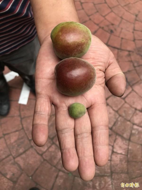 信義鄉梅區出現「大粒果實」的巨無霸青梅,與一般小顆青梅比起來,有如巨人與侏儒的差別。(記者劉濱銓攝)