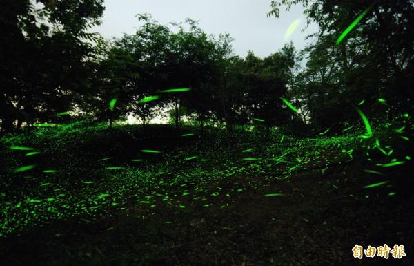 三縣界上,數以萬計的螢火蟲在林間群舞,相當壯觀。(記者吳俊鋒攝)