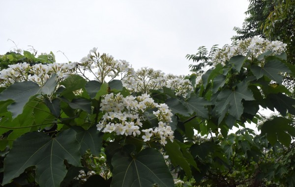 新竹地區目前桐花盛開約四十至六十%。(市府提供)