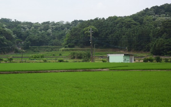 茄苳地區因多為丘陵地及河谷,稻田依地勢起伏開墾形成梯田景觀,綠意盎然的梯田襯托開滿桐花的白色山頭,更是遊客不可錯過的美景。(市府提供)