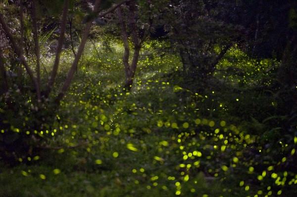 5月是鹿谷溪頭的賞螢季節,溪頭園區賞螢活動首度夜間開放,盼讓民眾體驗當地生態之美。(溪頭園區提供)