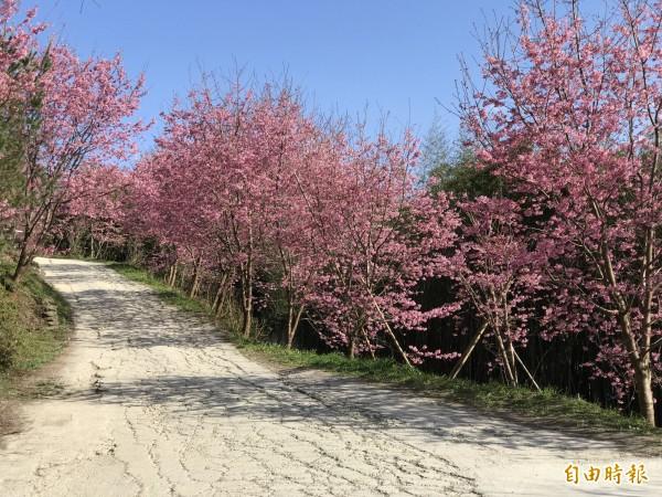 司馬庫斯部落櫻花季期間,遊客只能站在宛如蜘蛛網的爛路上賞花。(資料照)
