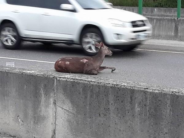 水鹿撞車後腳部骨折無法自行離開車禍現場。(圖擷取自臉書花壇人俱樂部)