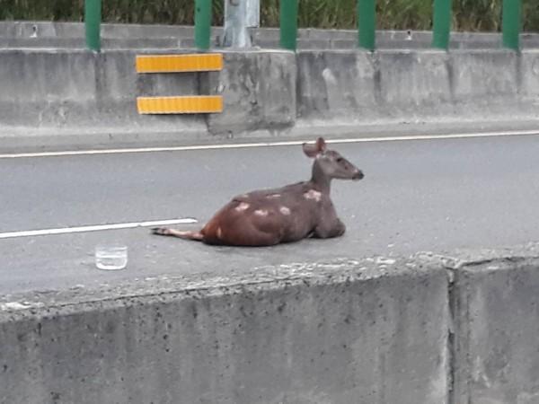 水鹿身體多處擦傷。(圖擷取自臉書花壇人俱樂部)