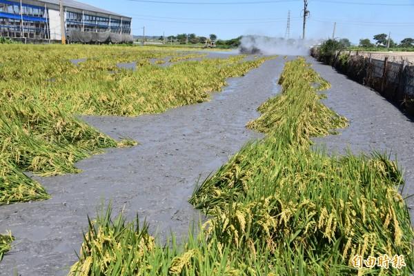 整片的一期稻作全被泥火山噴出的泥漿淹沒。(記者葉永騫攝)